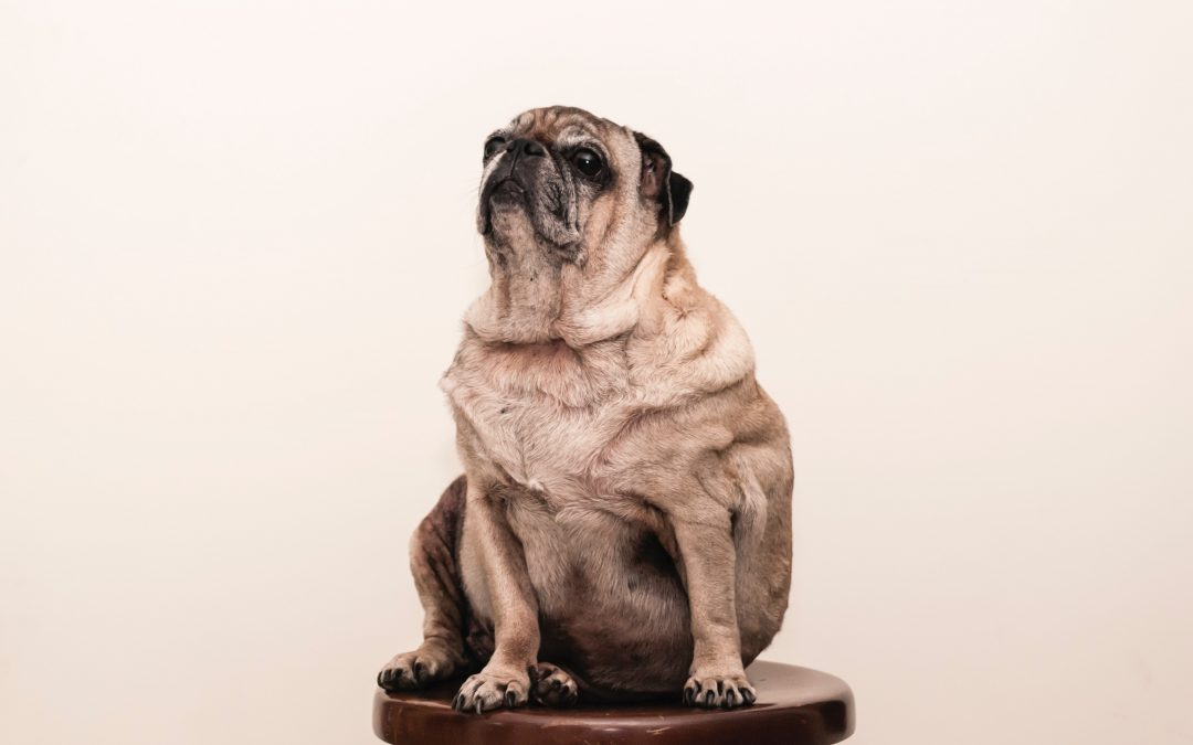 Is it Bad For Your Pet to be Overweight?