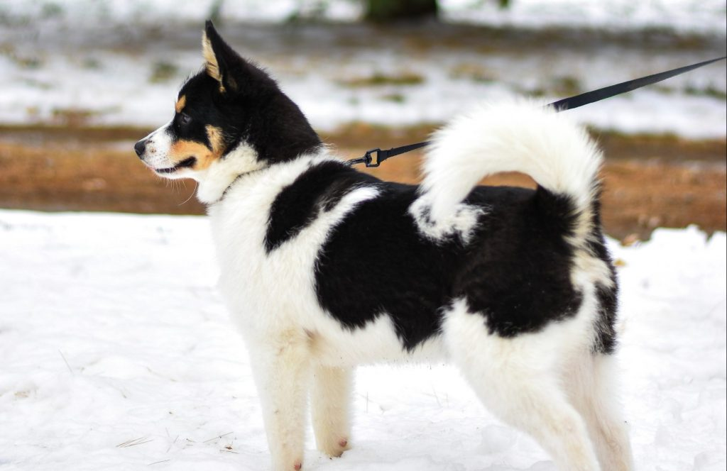 Dog with tail up